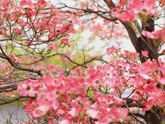 pink dogwood in bloom:  my favorite blossoming tree.