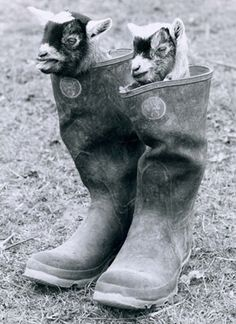 Just LOOK at these baby goats in boots!