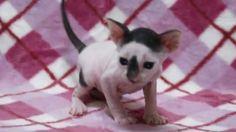 【ヤバイ!キュン死する】萌え〜♪超かわいい♪コーニッシュレックスの赤ちゃん(Cat/고양이/chat/gato/قط/猫/кот/Katze/ब...