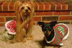 Yorkie and Minpin Christmas 2012