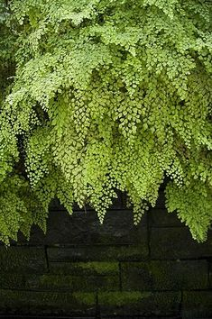 Maiden Hair Fern=Avenca my favorite! Shade Garden, Garden Plants, Indoor Plants, Fence Garden, Flowering Plants, Garden Pool, Hanging Plants, Herb Garden, Indoor Garden