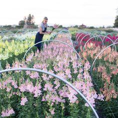 Harvesting snapdragons at Floret Flower Farm.  #growfloret
