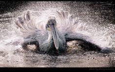 Pelican's bath | water, motion, pelican, bird