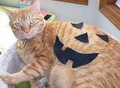 best cat pumpkin costume ever! cats-in-clothes Cat Dressed Up, World Cat, Pumpkin Costume, Cat Pumpkin, Cat Dresses, Cat Hat, Cat Costumes, Halloween Boo, Cute Creatures