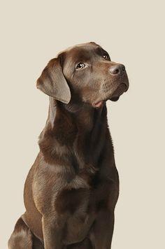 Chocolate Lab Puppies, Chocolate Labrador Retriever, Labrador Retrievers, Big Dog Beds, Puppy Room, Pet Photographer, Cat Photography, Tier Fotos, Labradors