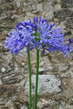 BLAUWE TUIN - BLAUWE BLOEMEN - TUINAANLEG - PLANTEN - TUINONTWERP Blue Garden, Lilac Flowers, Fauna, Early Spring, Harvest, Bloom, Nature, Plants, Beautiful