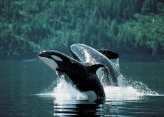 Orcas in the wild.