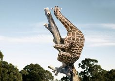 giraffe climbing a tree