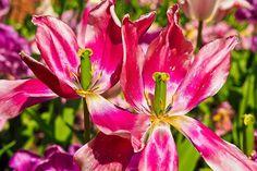 Tulips, Flower, Violet, Flowers