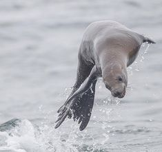 This Sea Lion was the highlight of my pelagic trip. It was having a great time jumping around our boat. Wildlife Photography, Animal Photography, Baby Seal, World Images, Summer Photography, Creature Design, Summer Colors, Under The Sea, Shades Of Blue