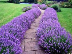 Lavender Hidcote - This easy-to-grow sun perennial thrives in full sun normal garden soil. Plants vigorously grow to form mounds of fragrant, silvery foliage 18 tall 24 wide. This drought-tolerant hardy perennials has extremely fragrant foliage Garden Soil, Garden Paths, Lawn And Garden, Garden Landscaping, Garden Tips, Brick Garden, Landscaping Ideas, Herb Garden, Backyard Ideas