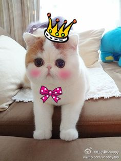 SNOOPY... The Exotic Shorthair is ADORABLE! ;o) ~Does this make me pretty?~