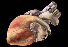 Dan con el interruptor responsable del desarrollo del músculo cardíaco | Por: @linternista - http://medicinapreventiva.info/cardiologia/21610/dan-con-el-interruptor-responsable-del-desarrollo-del-musculo-cardiaco-por-linternista/ - ¿Cómo se forma el corazón a partir de una fina capa de células en el embrión? y ¿Cómo se convierte en este potente y simbólico órgano? Este es un tema bastante desconocido hasta el momento.  Pero sin discusión, el músculo cardíaco es