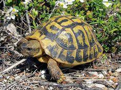 Testudo hermanni, Tortue d'Hermann. La tortue d'Hermann Testudo hermanni, ou Eurotestudo hermanni, est une espèce de tortue terrestre de la région méditerranéenne parfois appelée tortue de Méditerranée. Chez cette espèce Testudo hermanni, il est admis que trois sous espèces se distinguent : la...