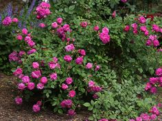 'Sweet Chariot ' Rose Photo