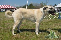 Анатолийский карабаш (Анатолийская овчарка) / Anatolian Shepherd Dog (Anatolian Karabash Dog) - PetsPoint.ru