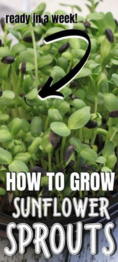 When greens are in short supply, sunflower sprouts can fill in a need for greens. Start some of these microgreens today and you'll have fresh greens for salads and sandwiches in about a week! Growing Microgreens, Growing Vegetables, Growing Sprouts, Growing Plants, Raised Garden Bed Soil, Growing Sunflowers, Organic Soil, Container Gardening, Vegetable Gardening