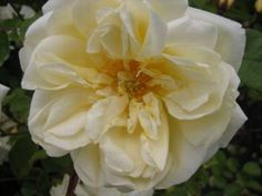 The Goldfinch yellow Rose Rambler (dating 1907) has a fruity fragrance! Best planted in light shade to retain more bloom colour. Tolerant of poor soil. good on a pergola or pillar. 2.5m.   Part of the Wichuraiana Rambler family.