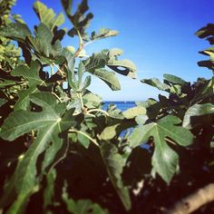 scents of autumn in provence... delicious ripe figs!