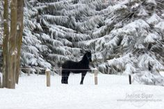 Black Beauty in the Snow #winter #snow #black #painting #horse #equine #stallion www.shadyridgephotography.com