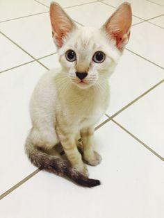 Linda gatinha de 5 meses. Castrada, vacinada e vermifugada.Disponivel a adoção-Manaus-Am 98409-1411