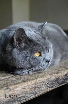 beautiful gray cat with big gold eyes