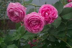 Reine Victoria. An old Bourbon rose with beautiful deep rose pink cupped blooms and a powerful heady fragrance. Very vigorous but needs attention to black spot.