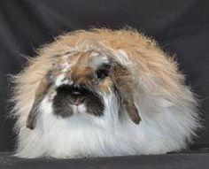 19 Best Fuzzy lop rabbits images   Rabbit, Rabbit breeds ...