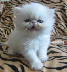 Cute kitty on a cheetah print... ZEBRA PRINT blanket rug thing.