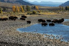 greater yellowstone ecosystem pictures   Greenpeace image Yellowstone National Park