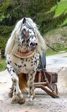 Noriker (Pinzgauer ) Austrian utility horse breed 1565. Also used as a saddle horse. Has roots in Roman and Alps breeds.