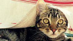 Undertable Cat