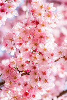 Cherry Blossom Shinjuku Gyoen Garden Tokyo, Loïc Lagarde