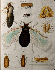 Versuch einer Geschichte der Blatläuse und Blatlausfreser des Ulmenbaums / - Biodiversity Heritage Library