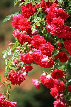 Beautiful Climbing Roses