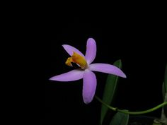 Laelia longipes - Orchid Board - Most Complete Orchid Forum on the web !