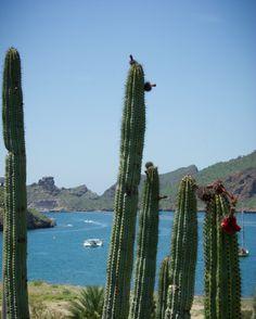 Imagen de Explora Sonora... Pitahaya .Bahía San Carlos, Sonora, México