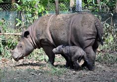 Sumatran rhino ~ In the last 15 years, only two captive female Sumatran rhinos have given birth. There are three known subspecies: while two of them are found in the islands of Sumatra and Borneo, the third is believed to be extinct. Poaching poses the greatest threat to these animals. ~ Close to Extinction: 35 Critically Endangered Animals