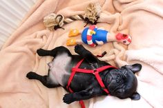 French Bulldog Puppy, and accessories