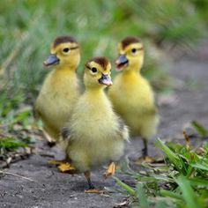 """""""Here we come, walkin down the street, hey hey we're the ducklings"""" :) Most Beautiful Animals, Beautiful Birds, Beautiful Creatures, Farm Animals, Animals And Pets, Cute Ducklings, Little Duck, Baby Ducks, Tier Fotos"""