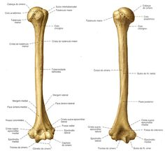 Aula de Anatomia - Sistema Ósseo - Membro Superior
