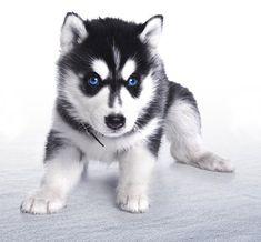 Bébé husky <3