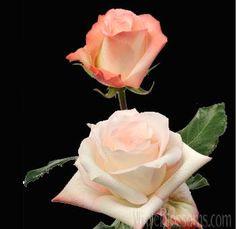 Cream Pink Alex Rose