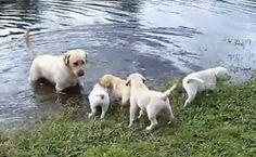 Daily Cute: Labrador Dad Takes Puppies for a Swim http://www.care2.com/causes/daily-cute-labrador-dad-takes-puppies-for-a-swim.html