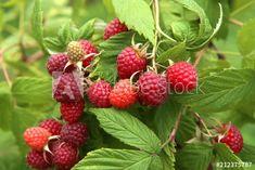 Raspberry Bush, Raspberry Plants, Raspberry Desserts, Raspberry Sauce, Raspberry Color, Raspberry Muffins, Fruit Bushes, Fruit Trees, Raspberry Benefits