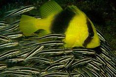 Atlante di Flora e Fauna del Reef articolo su Scubaportal, portale subacqueo - immersioni, diving, attrezzatura sub, viaggi sub, subacqueo...