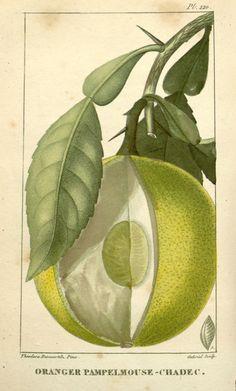 Flore médicale des Antilles, ou, Traité des plantes usuelles ct. 3 Paris :Pichard,1821-1829. Biodiversitylibrary. Biodivlibrary. BHL. Biodiversity Heritage Library