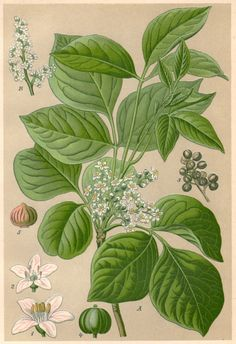 1901 Poison Ivy Botanical Print Rhus toxicodendron by Craftissimo