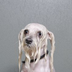 Soggy Doggies: Hilarious Portraits of Dogs During Bath Time