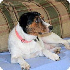 Paris, ME - Hound (Unknown Type) Mix. Meet ALYSSA, a dog for adoption. http://www.adoptapet.com/pet/10806449-paris-maine-hound-unknown-type-mix
